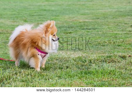 Pomeranian on green grass in the public park.