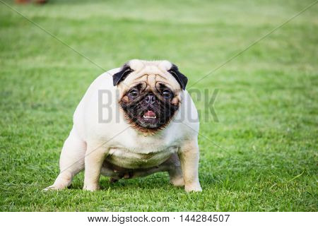 Dog breeds pug feces on green grass in the public park.