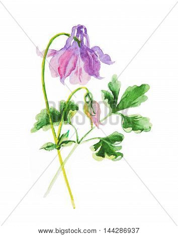 aquilegia pink violet watercolor bud isolated on white background