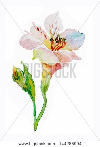 Flowers pink red alstromeries watercolor isolated on white background