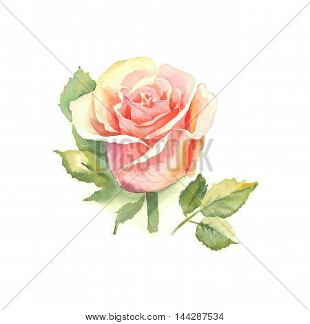 Flowers multicolored rose with leaves watercolor illustration