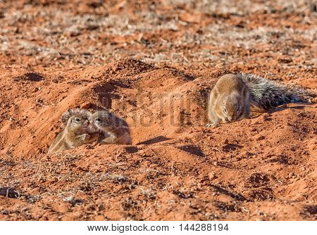 Three Ground Squirrels by their burrow in Southern African savanna