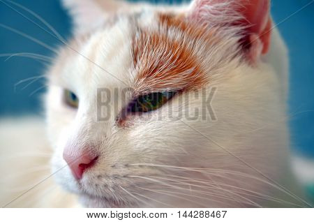 closeup face of a white cat with pink nose