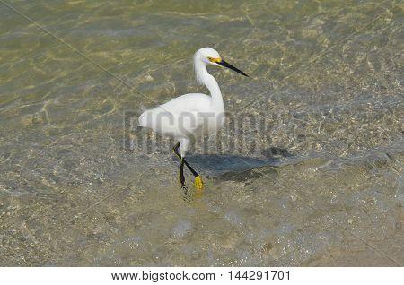 White egret bird posing in shallow ocean water.