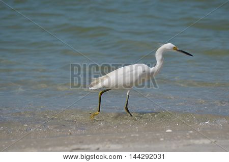 Egret fishing in the shallow beach waters.