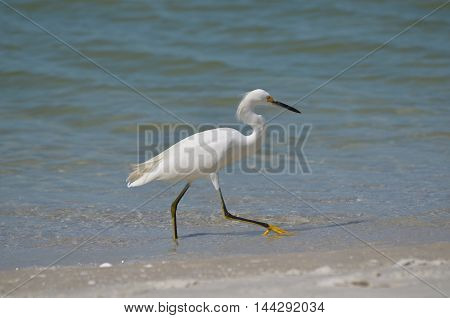 Great egret stepping into the water on the beach.