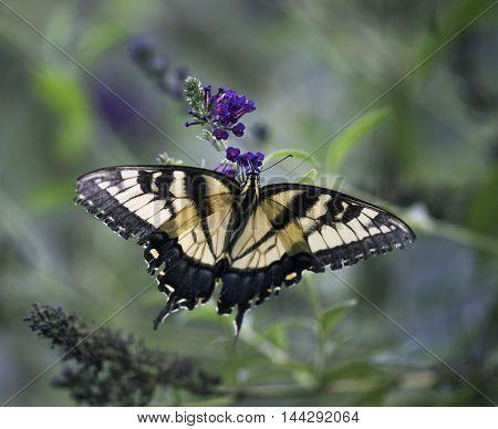 Monarch Butterfly Feeding On Butterfly Bush Flower