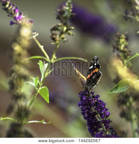 Red Admiral Butterfly Feeding On Butterfly Bush Flowers