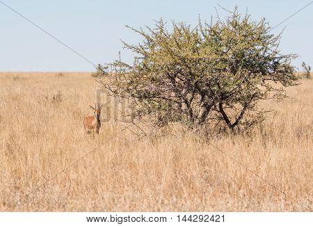A Steenbok antelope in Southern African savanna