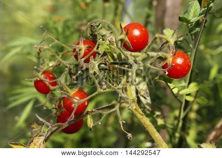 Homegrown red cherry tomatoes in garden. Bush.