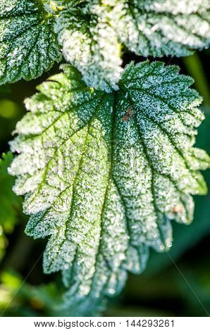 First Autumn Frost, Frost On Green Leaves
