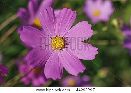 pink purple flower, like a daisy in the light of the setting sun.