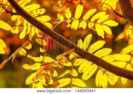 Autumn twig of rowan, background, season, fruit, fall,
