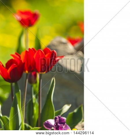 Tulip With Bokeh.