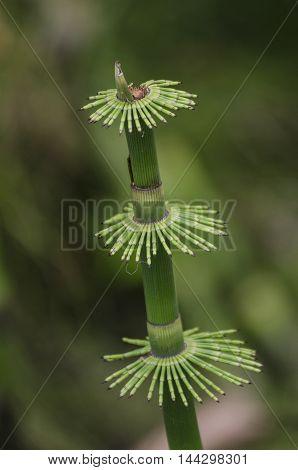 Macro nature background shot of papyrus plant detail
