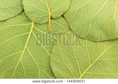Green walnut leaves making a background pattern