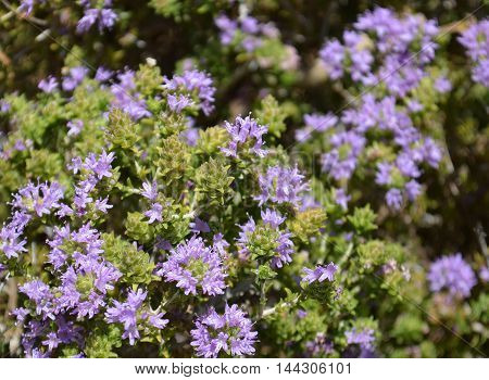 Wild Aromatic Thyme growing in the mountains of Crete, Greece