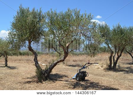 Greek olive grove with wheeled strimmer / trimmer for maintenance