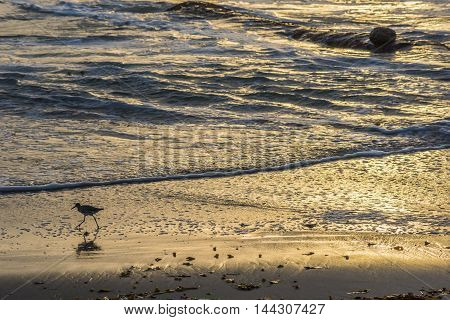 Golden sunset on beach shore and Calidrid bird with long legs and beak foraging