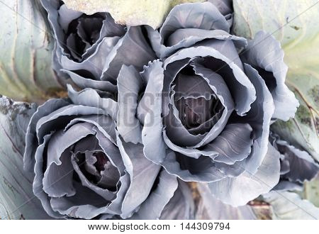 Purple Cabbage Growing