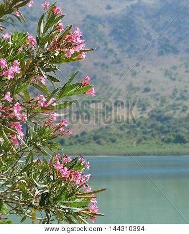 Oleander Flowers at Lake Kournas in Crete