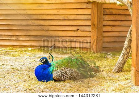 Peafowl Grazing