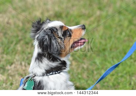 a tri colored mini australian shepherd in profile against green grass with a blue leash