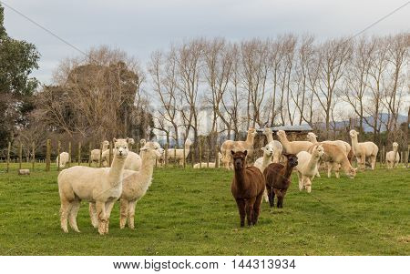 Alpaca herd on a New Zealand farm.