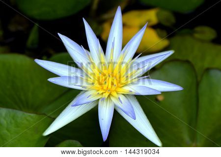 Waterlily Latin name Nymphaea caerulea Blue Lotus of the Nile