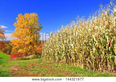 Autumn colors in Midwestern heartland rolling farmland cornfield harvest