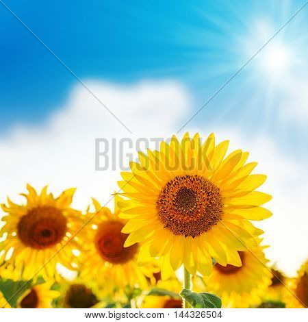 sunflower on field and sun in blue sky