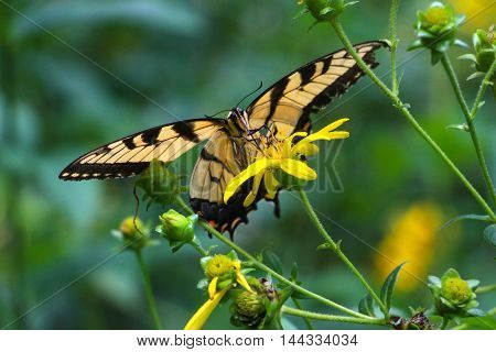 Direct look from an eastern tiger swallowtail butterfly, while drinking nectar from a golden aster flower.