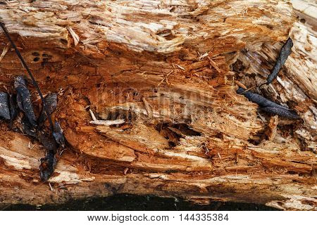 Rotten wood lying on the leaves in the autumn forest