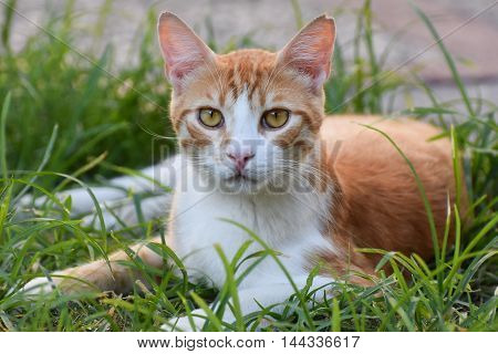 Cat lying on green grass and looking at camera.