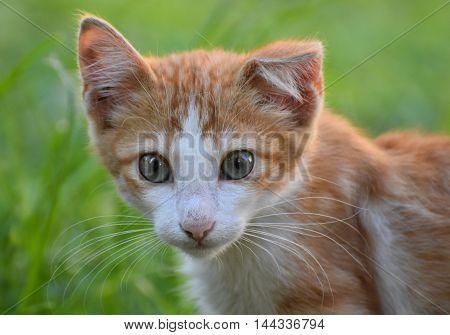 Baby cat looking at camera, isolated, closeup.