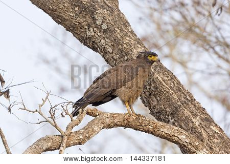 Crested Serpent Eagle in a Tree in Nagarhole National Park in India