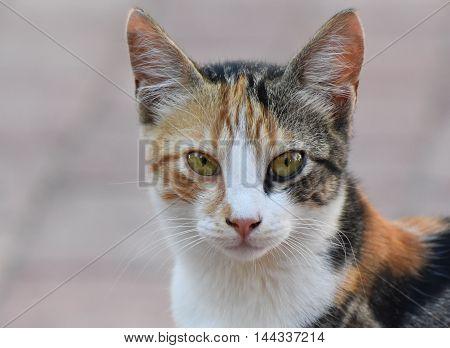 Yellow cat looking at camera, closeup, isolated.