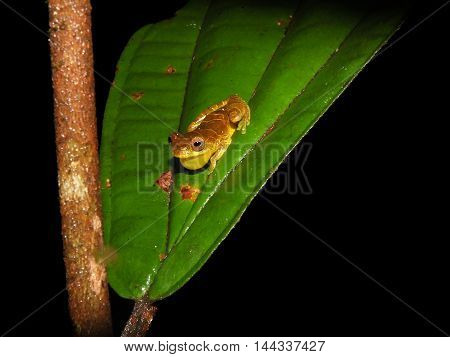 Dendrosophus sp. croacking at night in Suriname jungle