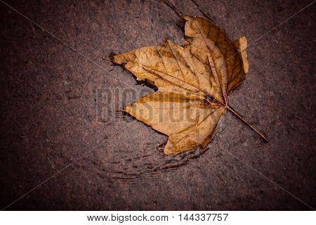 Fall autumn symbol. Single autumnal wet maple leaf on ground.