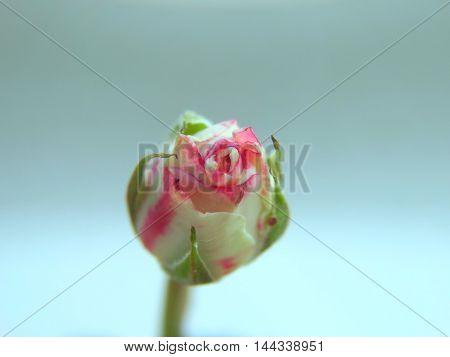A little rose bud opens macro closeup red flower plant cultivation bloom flora botany floristics nature soil bud petals