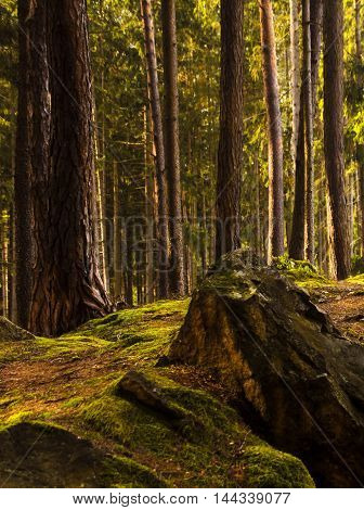 Pretty rock covered with moss. Background high tree trunks and everything is bathed in sunlight. Boskovice - Vratíkov