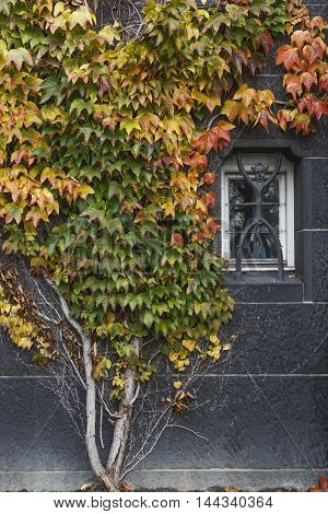 Boston ivy growing on concrete wall with small window in autumn