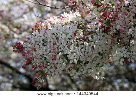 A crab apple tree blossoms during April in Joliet, Illinois.