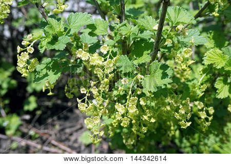The flowers of a red currant bush (Ribes rubrum) blossoming during April in a garden Joliet, Illinois.