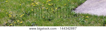 Common dandelions (Taraxacum officinale) bloom in a back yard in Joliet, Illinois during April.