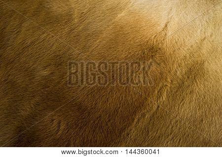 Texture, Background. Mink Fur. Mink Coat. Gold Color Mink Fur. A Small, Semiaquatic, Stoatlike Carni