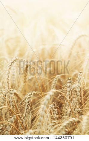 Harvest in the field. Beautiful golden wheat