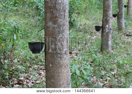 Rubber Tree Plantation With Rows Of Trees.