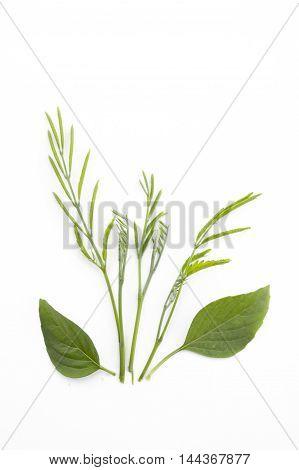 fresh green acacia limb on white background