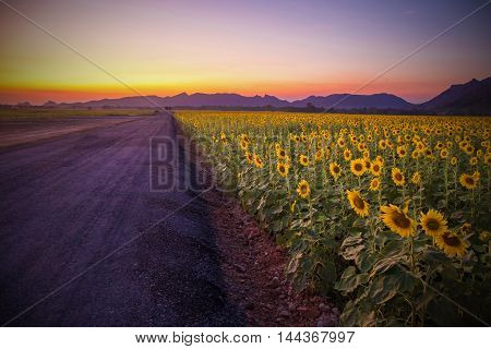 Landscape of blooming sunflowers field on a background sunset or twilight time at Lopburi Thailand